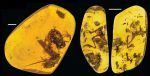 Amber Frogs CC BY 4.0