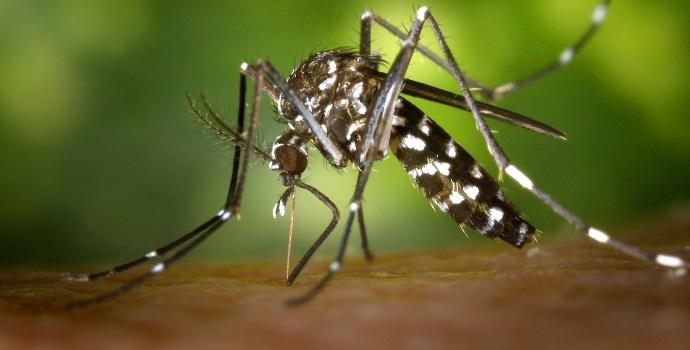 Mosquito Proboscis