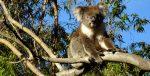 Koals in Tree