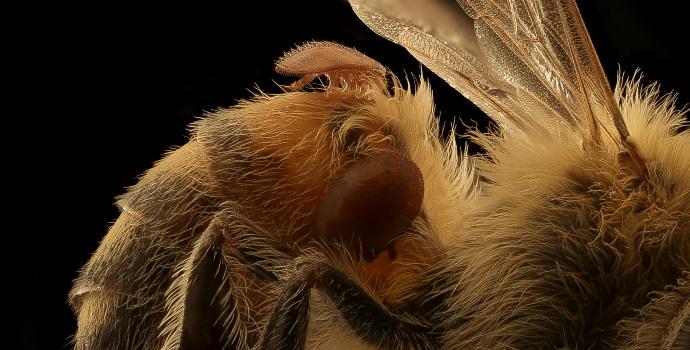 Verroa Mites on Bee