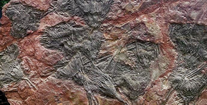 Crinoid Fossils