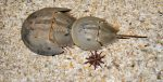 Horsshoe Crabs
