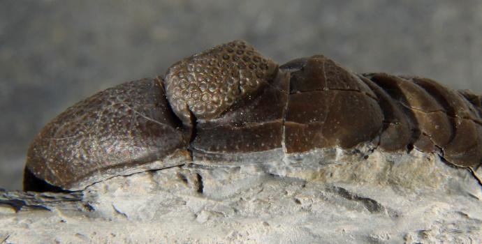 Phacops Trilobite Eye